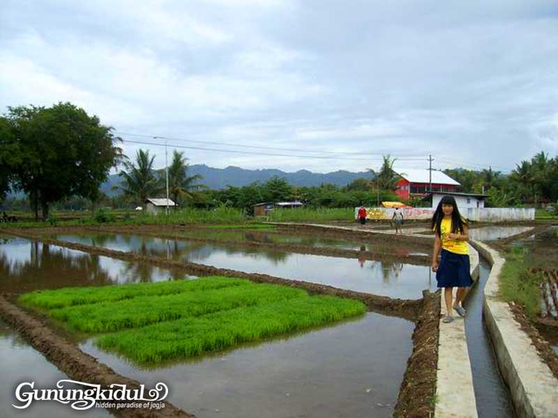 Morning in Saker | Sawah Kerjo Ponjong | by @gissept